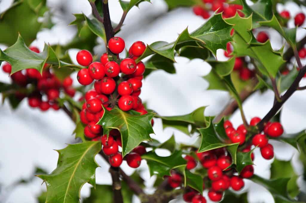 Where Does Holly Grow Best?